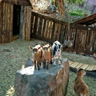 a mama goat with her 3 young kids perched atop a rock in the petting zoo