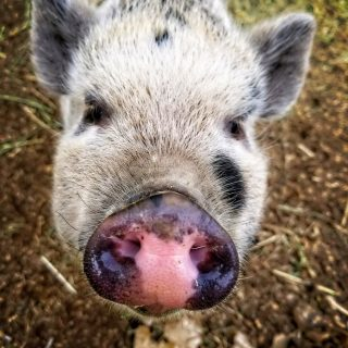 a young pig is in the camera's face at the petting zoo